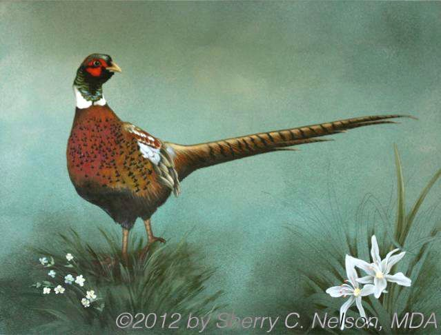 "11.  Ring-necked Pheasant, 18"" x 14"", $255.00"