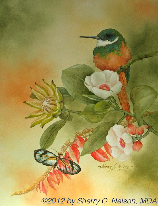 "16.  Rufous-tailed Jacamar & Clearwing, 12"" x 16"" - $275.00"