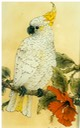 "#1.Sulphur-creasted Cockatoo, 8""x16"" - $5.00"