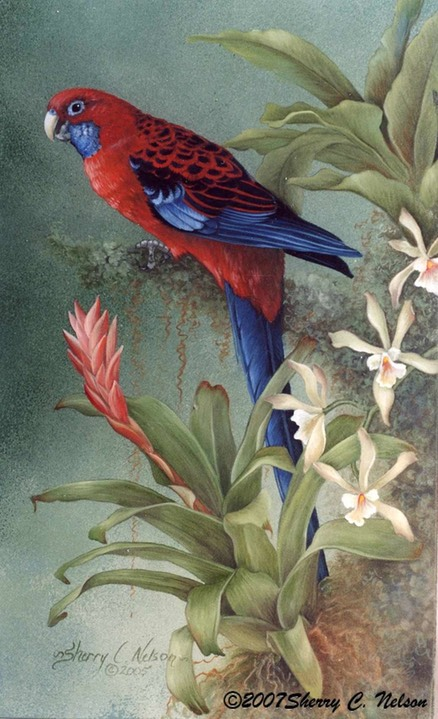 "20.  Crimson Rosellas, 11"" x 14"" - $195.00"