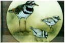 "#23.Killdeer & Babies, 11""x14"" - $5.00"