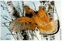 "#28.Ruffed Grouse & Birch Trees, 11""x14""- $6.00"
