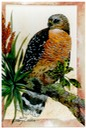 "#33.Red-shouldered Hawk, 14""x18"" - $5.00"