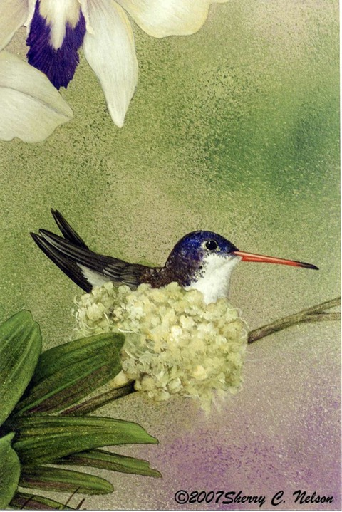 "37. Violet-crowned Hummingbird, female, 8"" x 10"" - $165.00"