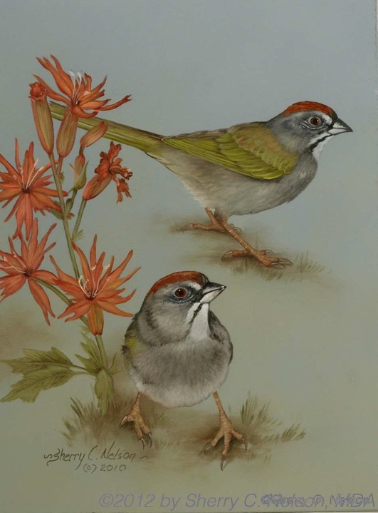 "43. Green-tailed Towhees, 9"" x 12"" - $195.00"
