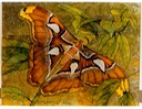 "#48.Giant Atlas Moth, 8""x10"" - $5.00"