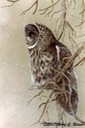 "Great Gray Owl, 12"" x 16"", $8.00"